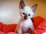 暹羅貓是怎樣通過尾巴來表達心情的