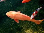 观赏鱼体表面溃疡疾病介绍