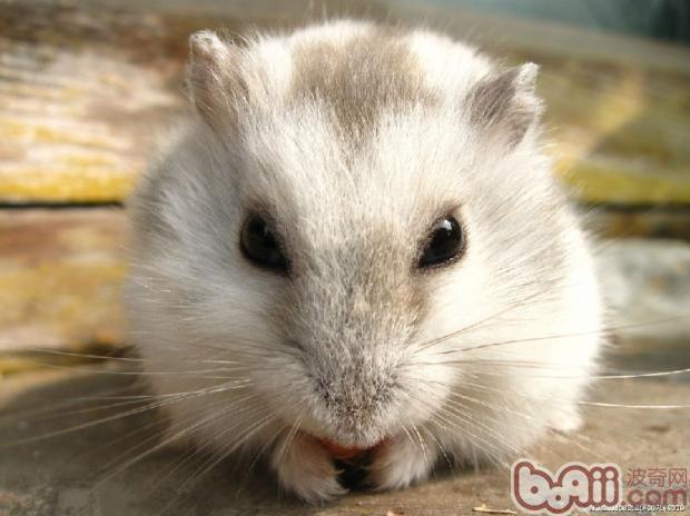 新手饲养仓鼠全攻略|小宠品种-波奇网百科大全