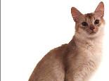 关于阿比西尼亚猫的介绍