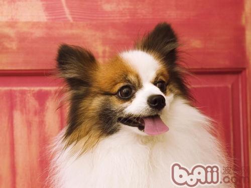 蝴蝶犬的起源与外形特征