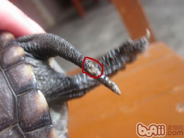 宠物龟常见皮肤病治疗系列之疥疮病