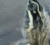 宠物龟常见皮肤病治疗系列之水霉菌病