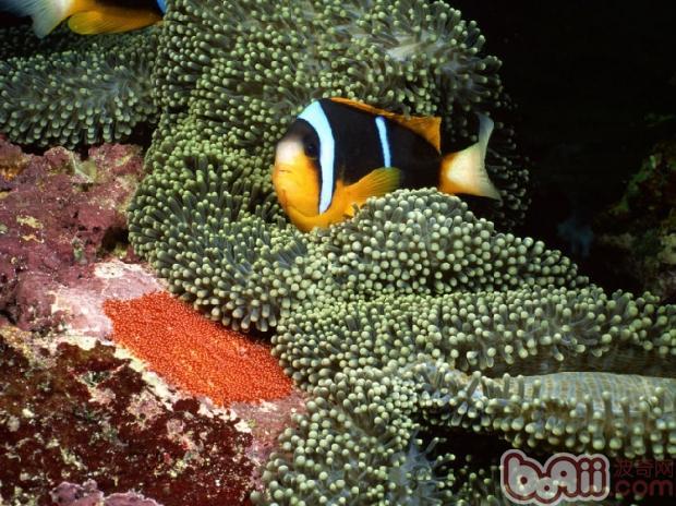小丑鱼常见细菌疾病解析