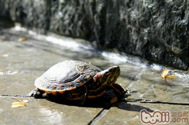 电视 巴西龟/巴西龟...