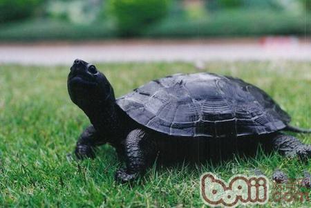 关于黑颈乌龟的介绍