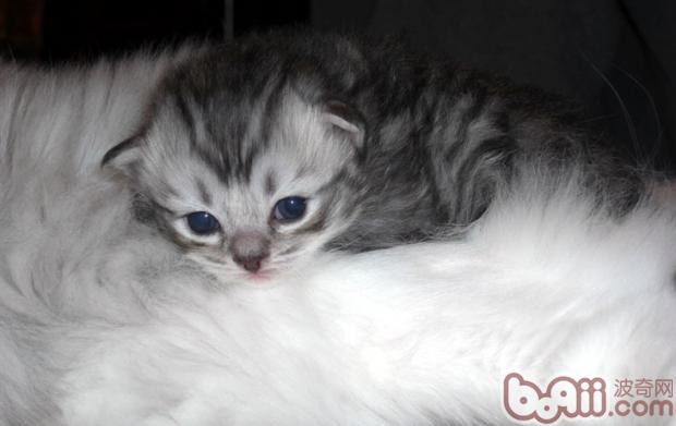 关于褴褛猫的介绍