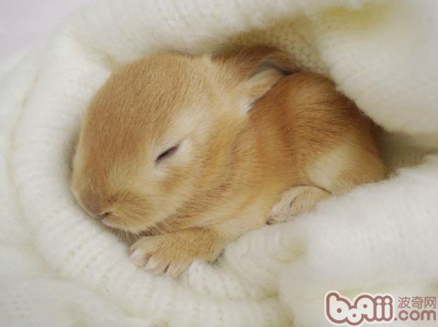 垂耳兔(详情介绍)   有网友建议,最好还是不要用干洗粉了,即便是标明了兔子专用的,也不建议给兔子使用。除非你能保证干洗粉是纯玉米粉做的,否则都不建议给兔兔使用。   兽医解释说:之所以不能给兔兔用干洗粉,主要是因为有中毒病例发生,在不确定干洗粉到底适不适合给兔兔使用之前,那最好还是别用了吧。