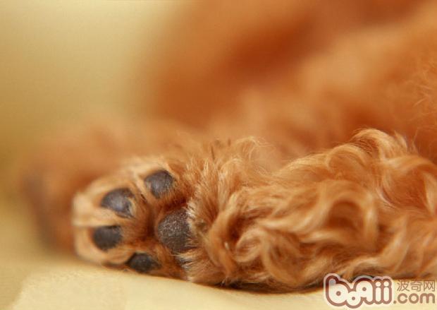 狗狗爪子   其实狗狗的小肉球也是有分类的,如果仔细观察就能发现当中的不同。有些狗狗腿短,便会天生外八字,就会形成特殊的爪子形状;有些狗狗天生轻薄但是强韧性不足,缺乏持久力。小编就来告诉你,其实狗狗的肉爪也是可以分成以下四种类型的。   一、猫爪型:   这种趾型以小而圆者最为理想。是工作犬常见的趾型。   二、兔爪型:   这种趾型呈椭圆形,乍看犹如兔爪,是较理想的趾型。玩赏犬多见,如八哥犬要求一定为兔爪型。   三、伸张型:   这种趾型脚趾之间缝隙过大,外形不甚美观,外出时脚趾中间常会夹住泥沙。