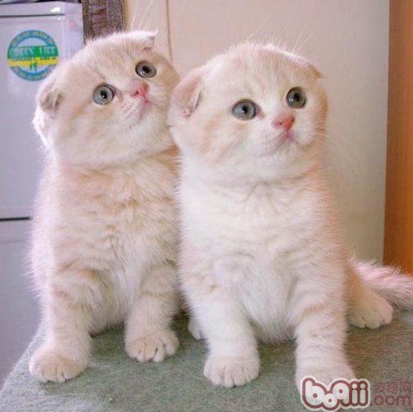 研究发现,猫的眼睛是相当特殊的,当光线强一点的时候,它的眼睛会呈一条线;当光线暗的时候,它的瞳孔都会放大。有人说,猫咪的眼睛在黑夜中会发亮,当然每当在黑夜看见猫咪发亮的眼睛,也会让它感到恐惧害怕。   其实科学来讲,猫的眼睛自身并不发光,而是它的眼球后面的视网膜上有一个类似反光板一样的物质,能把收集到的光能反射出来。所以我们晚上看到猫眼睛是亮的。猫的这个瞳孔非常富有弹性,它收缩的能力也非常强。所以猫的视觉非常敏锐,它应当是人视觉的6倍这么强。这种敏锐的视觉跟宽阔的视角,使它所看到的东西的范围要比人大得
