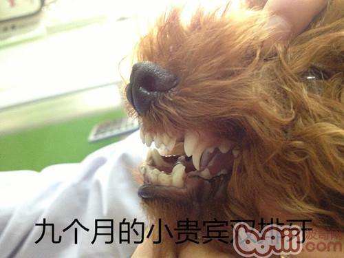 泰迪犬双排牙的危害
