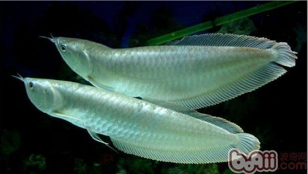银龙鱼饲养全攻略