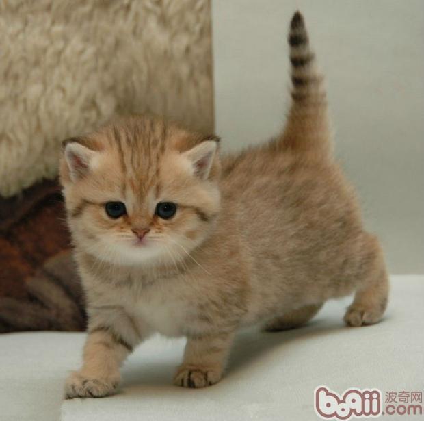 训练猫咪优雅站立的方法