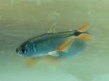 黑十字鱼的饲养注意事项