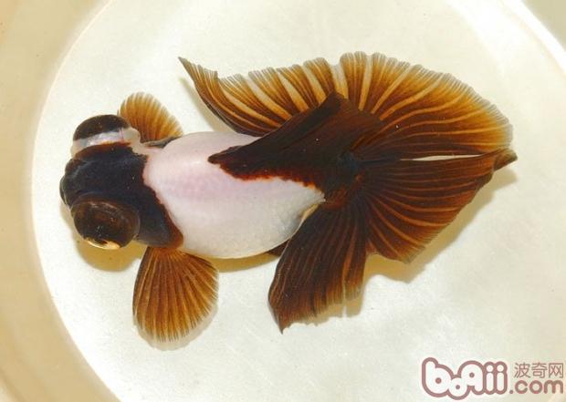 蝶尾金鱼的饲养大全