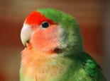 桃面情侣鹦鹉幼鸟饲养要点