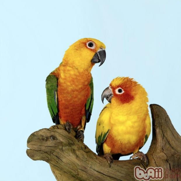 其次为亚马逊鹦鹉 葵花类鹦鹉