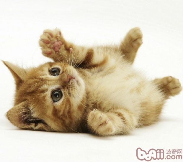 关于猫咪妊娠的小秘密