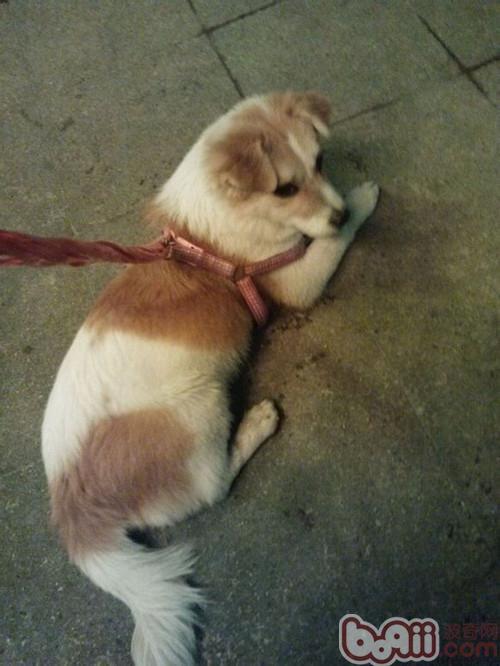 狗狗自发性巨结肠的症状及治疗