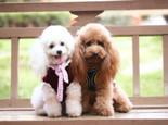 狗狗毛色改变的原因分析