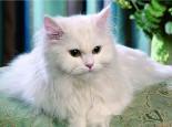 四招应对猫咪频繁掉毛的困扰