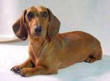 腊肠犬的性格特点介绍