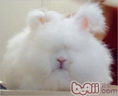幼兔公母应该怎样区分图片