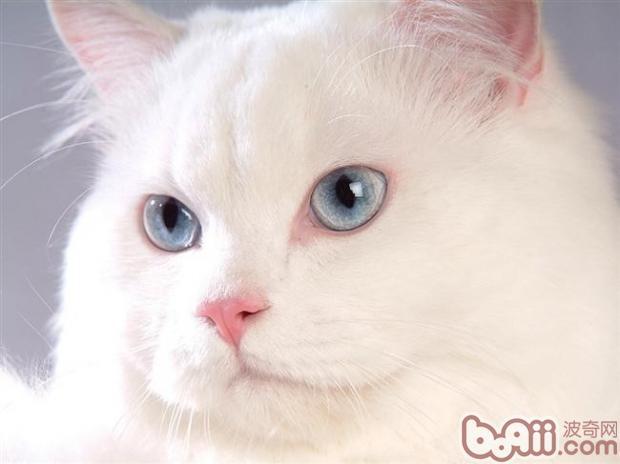 波斯猫(详情介绍)   如果宠物猫的尾巴只是轻微的外伤,那么对于主人来说也不用太担心。因为猫有一定的自我恢复能力,一般情况下很快就可以自己复原了。然而,如果猫咪尾巴有骨折或者是直接断裂的情况,那么应该第一时间送猫咪去宠物医院。帮助猫咪接骨,进行手术治疗。骨折的情况经过现代医学的治疗,其康复的几率是非常大的。然而,如果猫咪的尾巴直接断裂了,那么要像在恢复原装就很困难了。但不管如何,当猫咪尾巴断了之后都要第一时间送往宠物医院,进行专业的诊断和治疗。