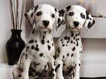 一只斑点狗多少钱