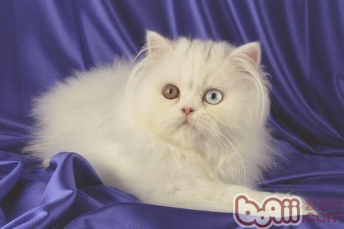 怎样科学喂养波斯猫|猫咪养护