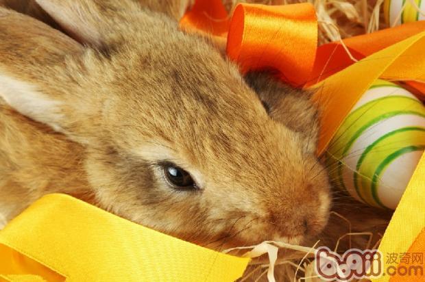聪明兔兔能够听懂人的语言吗