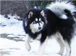 阿拉斯加犬的毛发该如何护理
