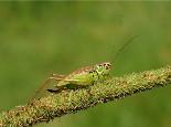 解密蟋蟀神奇的身体构造