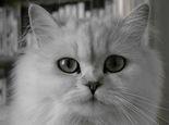 如何为猫咪清洗尾巴