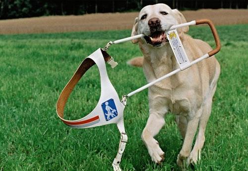 哪些犬适合做导盲犬