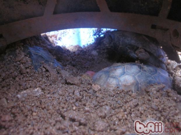 宠物水龟自然冬眠的方法比较
