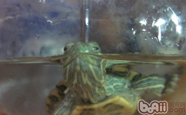 如何提高宠物龟的互动性