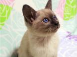 暹羅貓如何用尾巴表達心情
