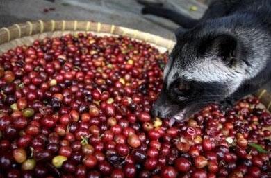 猫屎咖啡真是用猫屎做的吗