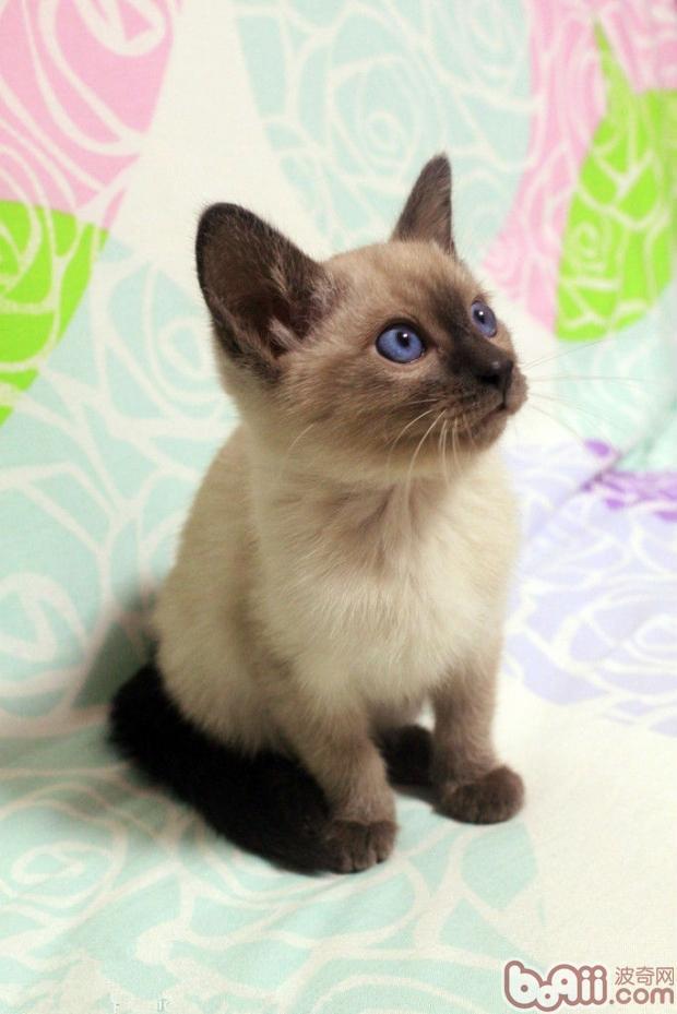 暹罗猫(详情介绍)   1.尾巴往上直翘,尾端弯曲:表示暹罗猫对某项事物非常有兴趣,但还是有一点犹豫。不过整个心情还是非常舒畅的。   2.尾巴往上直翘,尾端垂直:表示暹罗猫对你非常的友好,这是它表达好意的方式。多见于幼猫对母猫的行为。   3.尾巴拱呈半圆型,毛竖起来:这是暹罗猫遇到危险,防守时的状态。暹罗猫做出此动作的下一步就会发动攻击了。   4.