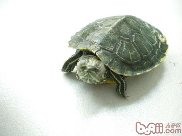 宠物龟冬眠过程中的细节问题