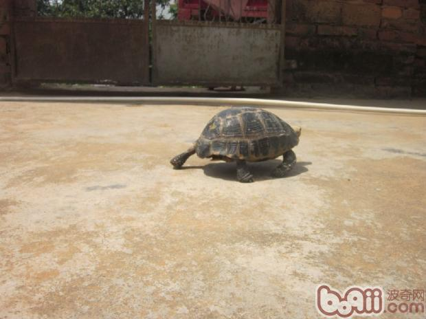缅甸陆龟冬眠的个人经验
