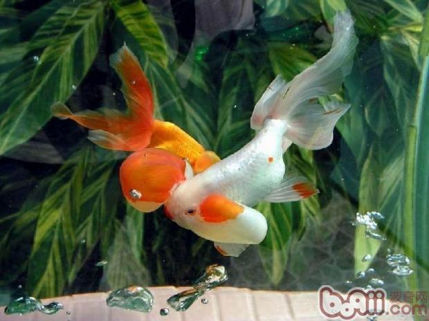 金鱼(详情介绍)   当气温突然改变,你的金鱼出现了不正常病状,那么多半你的金鱼可能感冒了。金鱼感冒易发于早春、深秋和冬季。   一、症状:   金鱼是否感冒可以从其活动情况看出患感冒的金鱼失去原有的活跃状态,而表现为神情呆滞、怕动、孤独地静处一旁,不吃不喝,皮肤上分泌出较多的黏液,肤色暗淡,而失去原有光泽,严重时可倒浮在水面上。   二、防治方法:   1、在给金鱼换水时,不论什么季节,都要做到换进去的新水和老水的温度相同或温差很小;   2、对已经出现感冒症状的金鱼,可将水位降低,待天气晴好时,要让
