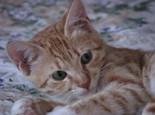 正确为猫咪滴耳药水的步骤