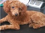 狗狗毛发护理及美容常识