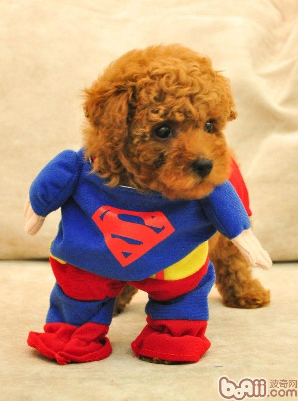 冬天狗狗应该穿衣服吗?; 泰迪犬衣服图片大全下载;
