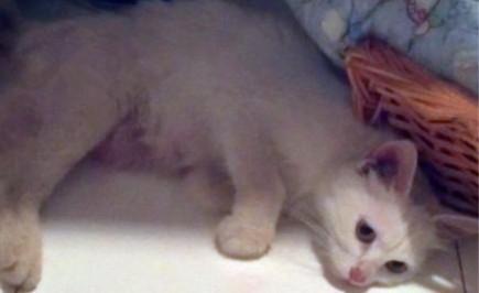猫胃内异物的治疗及体会