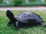 黑颈乌龟与普通乌龟有何不同