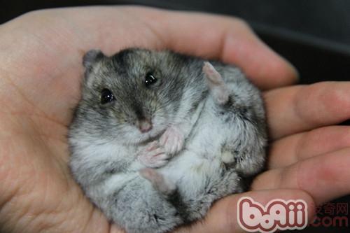 家长要注意密切观察老年仓鼠的身体状况,及时给与照顾,帮助仓鼠度过