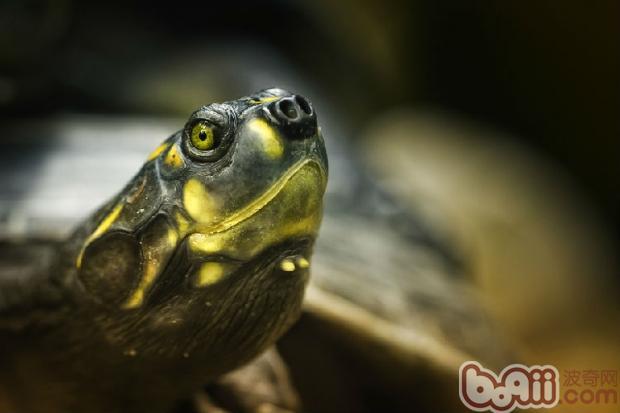 如何判断巴西龟的性别和年龄